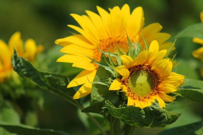 sunflower-547318_1280